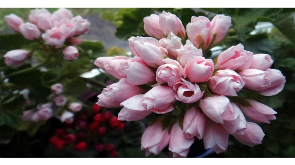 Tulpiažiedė pelargonija