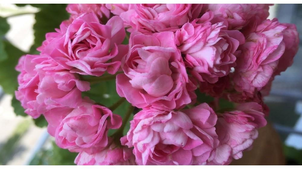 Rožiažiedės pelargonijos